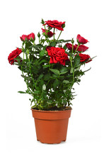 Miniature Rose Plant Isolated ...