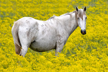 White Horse In A Field Of Yell...