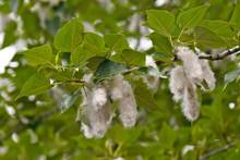 Cottonwood Seeds Form On Female Tree, Central Oregon