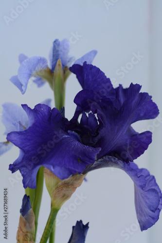 Photo sur Aluminium Iris Bouquet of dark blue and light blue irises close-up on a white background