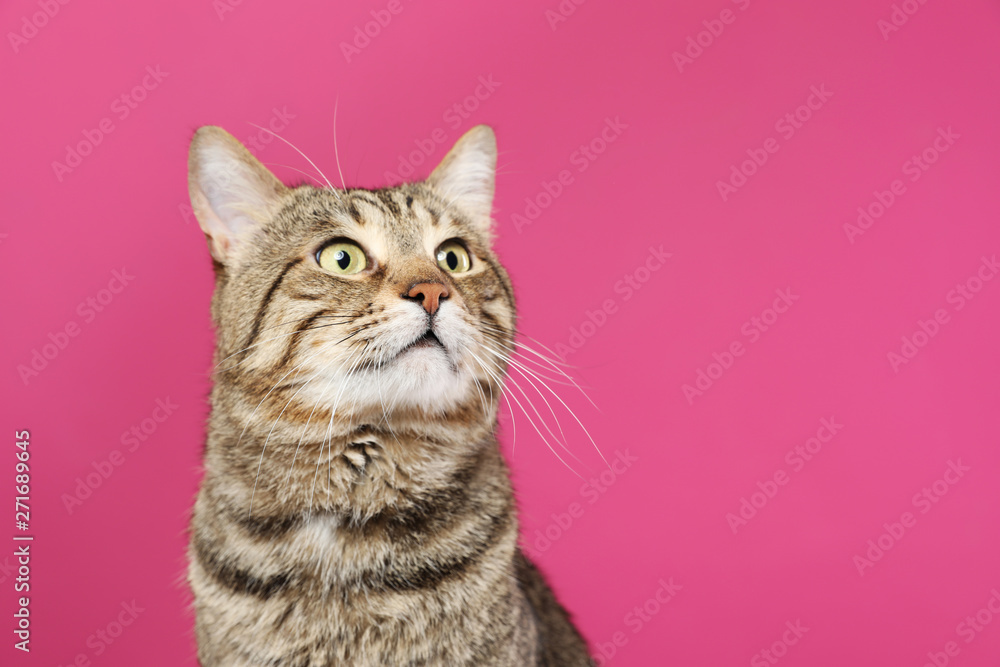 Fototapety, obrazy: Cute tabby cat on color background, space for text. Friendly pet