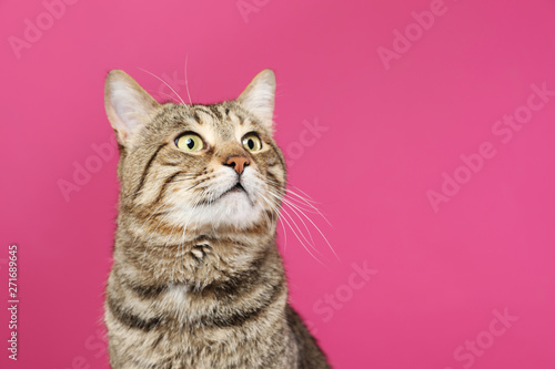 Photo sur Aluminium Chat Cute tabby cat on color background, space for text. Friendly pet