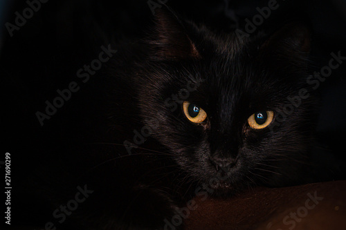 Valokuva  Close up of golden eyes on a black cat curled up on a cozy bed.