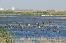 Large Flock Of Ducks Landing In Wetlands.