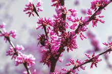 Eastern Redbud Tree With Pink Blossoms And Bee In Spring