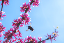 Redbud Tree With Pink Blossoms And Bee In Spring