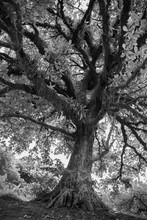 Árvore Majestosa Em Preto E Branco