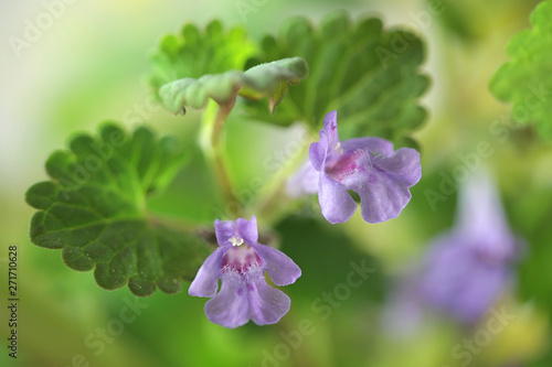 Glechoma hederacea, commonly known as ground-ivy, gill-over-the-ground, creeping Wallpaper Mural