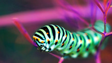 Beautiful Colorful Caterpillar...