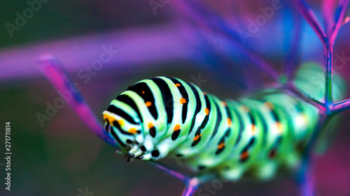 Pinturas sobre lienzo  Beautiful colorful caterpillar on a leaf in the ultraviolet light