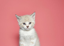 Portrait Of A Cream Colored Muted Tabby Kitten Looking At Viewer With Skeptical Expression. Pink Background