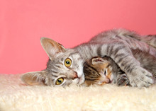 Portrait Of A Beautiful Mother Tabby Cat Laying With Single Baby Between Her Arms, Looking Directly At Viewer. Content.