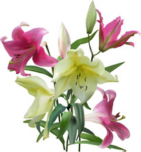 Isolated Light Yellow And Pink Lily Flowers Bunch