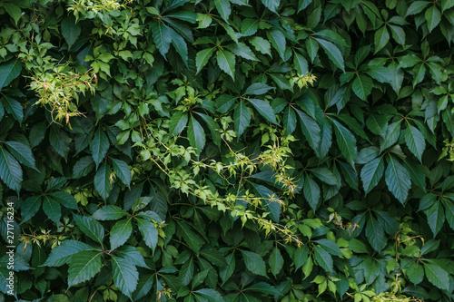 Photographie Ampelopsis Parthenocissus Planch