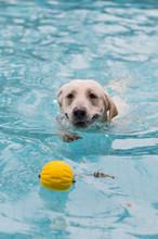 Labrador Retriever Playing In ...
