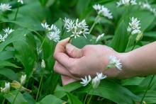 A Female Hand Picking Wild Gar...