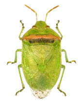 Red-banded Stink Bug, Smaller ...