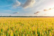 Ripe Rice Field And Sky Background At Sunset Time With Sun Rays