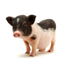 Cute Black Small-eared Pig On ...
