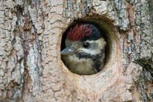 Great Spotted Woodpecker Chick In The Nest (Dendrocopos Major)