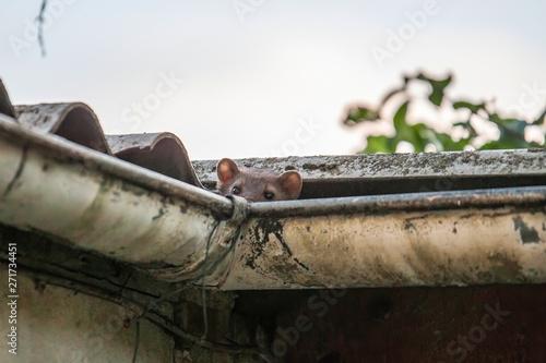 Fototapeta Stone marten peeks out of a gutter obraz