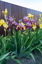 Bushes Iris In The Garden. Pur...