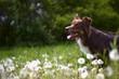 Dog austalian shepherd portrait in grass
