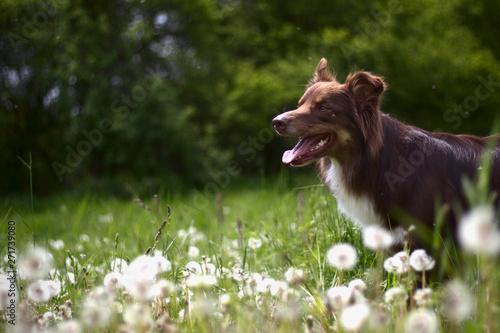 mata magnetyczna Dog austalian shepherd portrait in grass