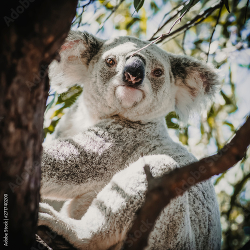 In de dag Koala koala in tree