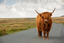 Highland Cow Standing In The R...