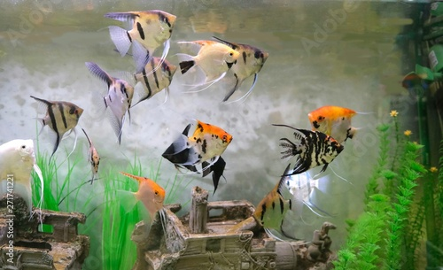 Angelfish, one of the most popular types of aquarium fish Canvas Print