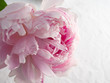 Big beautiful pale pink peony on white background. greeting card, invitation, in bright pastel colours, birthday, mothers, Valentines, the concept of women's wedding day, copy space.