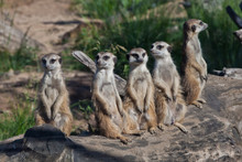 Many Meerkats Gathered A Meeti...