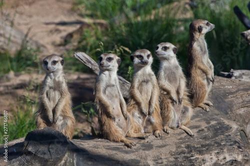 Photo  Many meerkats gathered a meeting