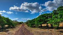 A Dirt Road Amongst The Mango Trees. Guanacaste, Costa Rica