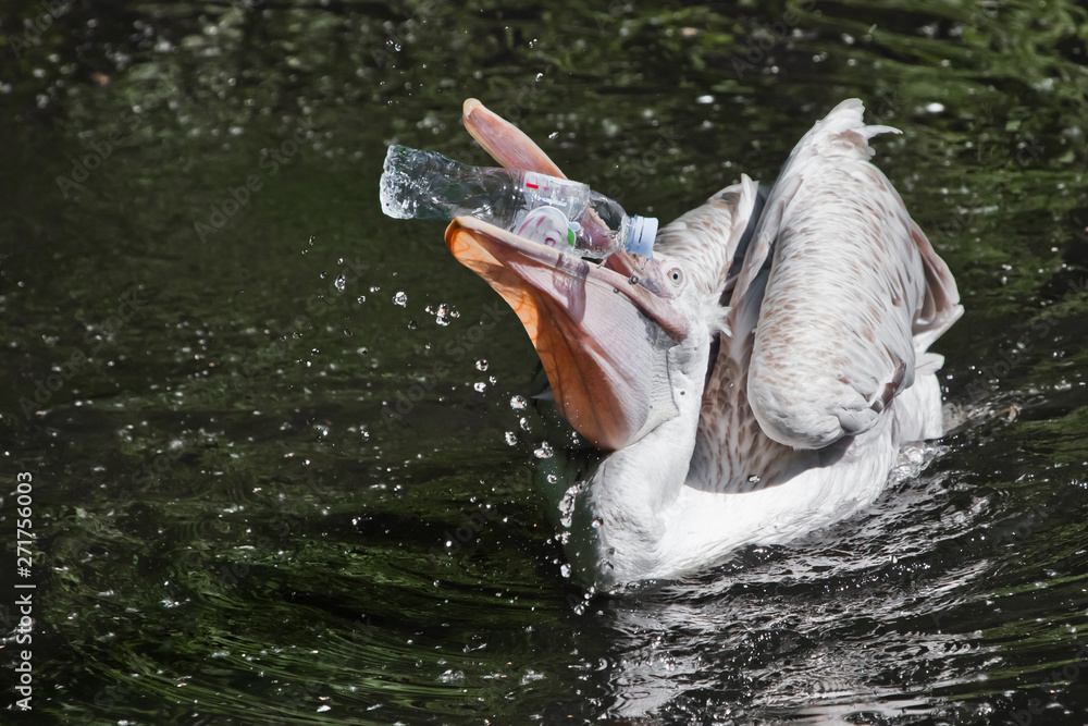 Fototapety, obrazy: A plastic bottle in the mouth of a pelican bird ( problem of water pollution with plastic). Unhappy bird can swallow debris and die.