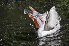 A Plastic Bottle In The Mouth Of A Pelican Bird ( Problem Of Water Pollution With Plastic). Unhappy Bird Can Swallow Debris And Die.