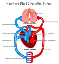 Blood Circulatory System. Stylized  Heart Anatomy, Diagram. Human Circulation System. Basic Annotated. Biology Lesson. Illustration Of Blood Flow With Arrows. Drawing Vector Illustration .