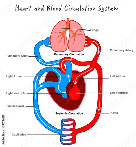 human circulatory system diagram blood circulatory system stylized heart anatomy  diagram human  blood circulatory system stylized