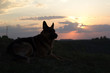 A German Shepherd Dog named Bison admires the sunset and rests