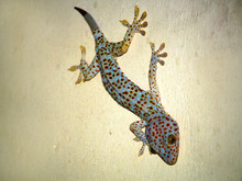 Colorful Gecko On A Wall