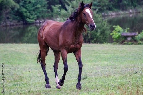 Pretty Bay Thoroughbred horse cantering in the field