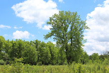 Tall Cottonwood Tree At Somme Prairie Nature Preserve Meadow In Northbrook, Illinois