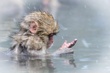 Snow Monkey Baby Sits In A Hot...