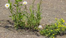 Wildflowers In Asphalt
