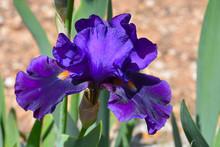 Tall Bearded Iris, Purple Peta...