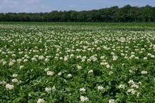 Flowering Potatoefield Netherl...