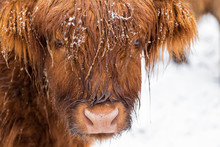 Highland Cow Under The Snow, Valtellina, Lombardy