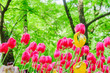 Leinwandbild Motiv close up of blooming spring tulip flowers of pink color