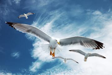 Fototapeta Ptaki Seagulls flying in the blue sky.